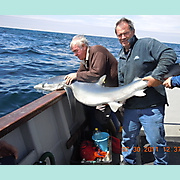 Blue Shark. Catch, tag and release.