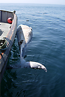 Minke whale alongside HARPY.